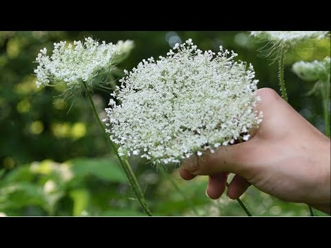 , title : 'How To Identify Wild Carrot, Queen Anne's Lace - Wild Edibles