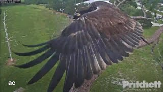 Wed 6/24/2020~SWFL Eagles.. E16 showing off his/her impressive wings...! :-)