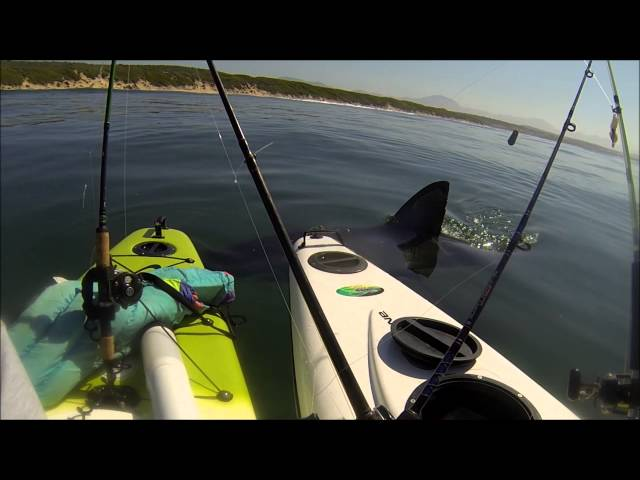 Great White Tests Kayak Anglers' Nerves - Jukin Media Verified (Original)