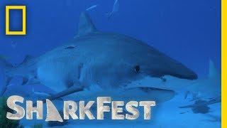 Tiger Sharks: Trash Cans of the Sea   SharkFest