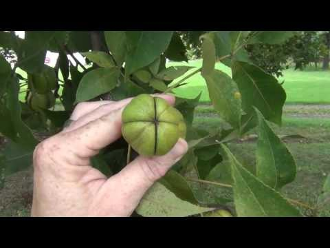 Hickory Nut Tree