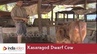 Kasaragod Dwarf Cow