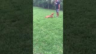 Teaching dog to focus