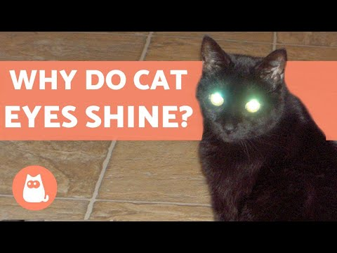 Why Do Cat Eyes Shine In Photos?
