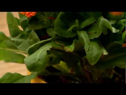 Milyen gyógynövényeket kell eltávolítani a parazitákból