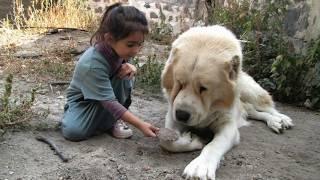 Как выглядят породы собак (ГАМПР – АРМЯНСКИЙ ВОЛКОДАВ)
