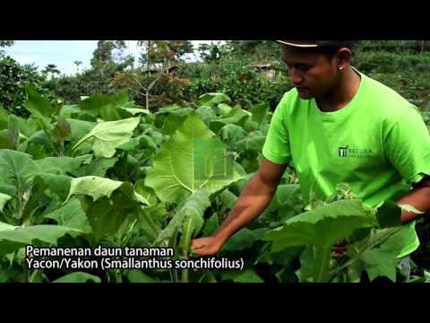 Video Bagaimana Cara Budidaya Yakon?