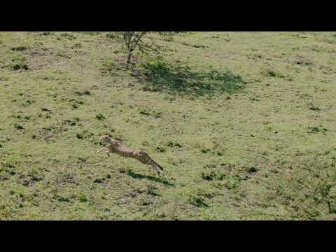Legendary Expeditions - Cheetah on the hunt