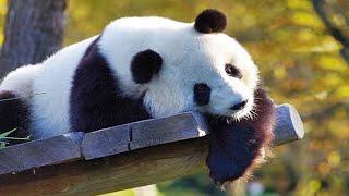 🐼 Funny Pandas 2021 🐼 [Funny Pets]