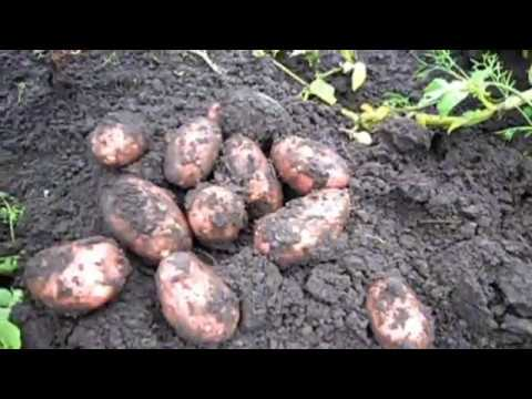Картофель сорт РЕД СКАРЛЕТ, описание, опыт выращивания.