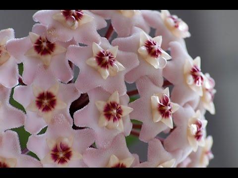 Хойя - сказочный цветок, советы по уходу.