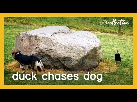 מרדף מצחיק בין כלב לברווז שעשה לי את היום