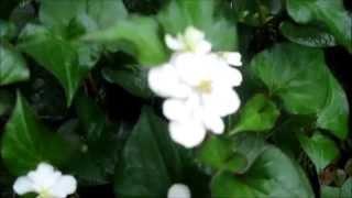 八重のドクダミの花