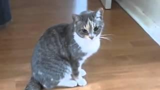Пьяный кот   Пркол! (после визита к ветеринару)