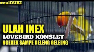 ZulDUKI : ULAH INEX Lovebird KONSLET Ngekek Sampe GELENG - GELENG