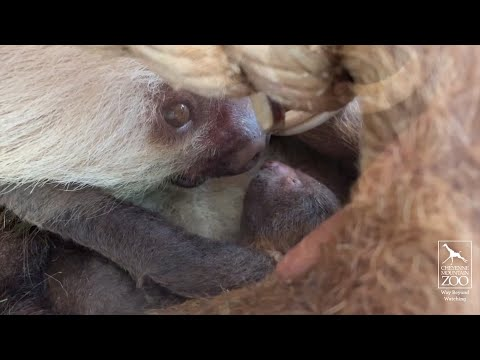 A newborn sloth at the Cheyenne Mountain Zoo in Colorado Springs is getting a loving, but slow, welcome to the world from its mother. The zoo says the two-toed sloth was born May 14 to a sloth named Chalupa, who is a first-time mom. (May 17)