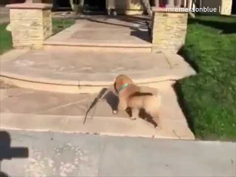 Puppy Tries Walking on Steps and Trips - 1063487
