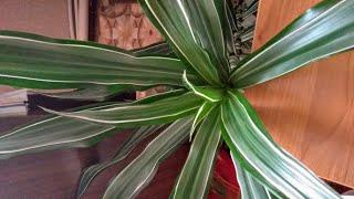 Драцена/ омоложение старого растения/ размножение драцены делением стебоя
