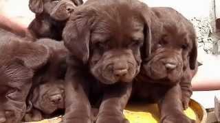 ШОКОЛАДНЫЙ БУКЕТ.Chocolate labrador puppy.Шоколадный лабрадора 1.5 мес. Odessa.