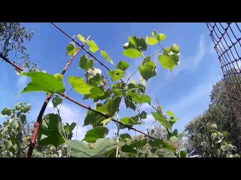Ріст винограду