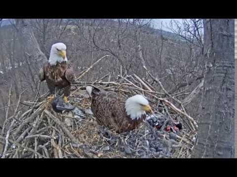 Hanover PA Bald Eagle Nest cam- Eagles bring a live bird to the nest