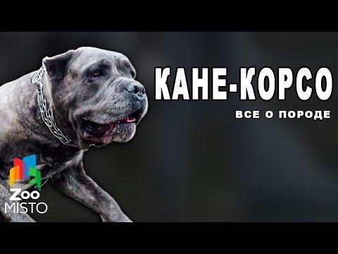Кане-Корсо - Все о породе