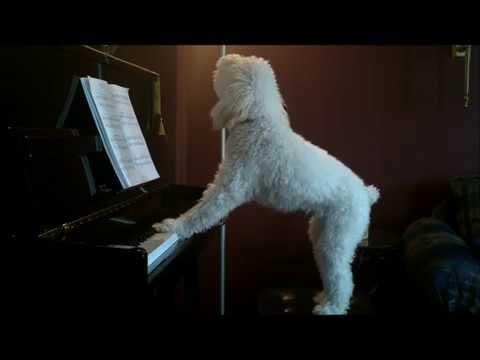 Anteprima Video Il cane che ama suonare il piano