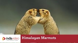 Himalayan Marmots - the mountain squirrel