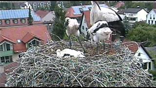 preview picture of video 'Störche in Markt Schwaben, Flügeltraining und andere Aktivitäten der Jungen.'