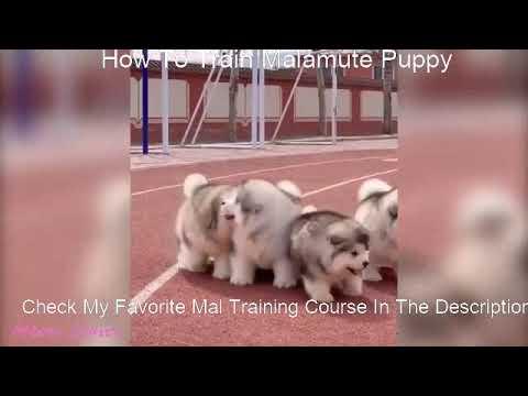 Alaskan Malamute Puppy Training - YouTube
