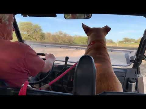 Jake, an adopted Labrador Retriever & Shepherd Mix in Redmond, WA_image-1