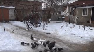 Полет 4-ех часовых голубей, снимает Игорь Мисник.