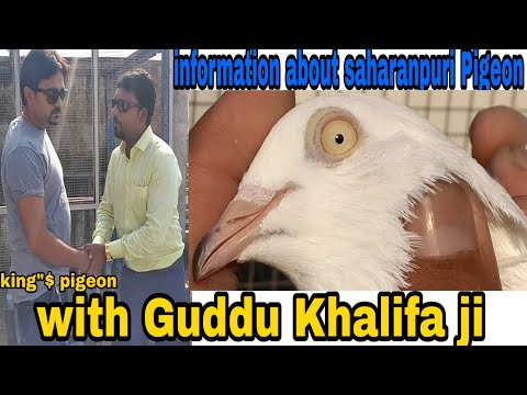 SEPT 29 -2018  INFORMATION ABOUT SAHARANPURI PIGEON. WITH KHALIFA GUDDU BHAI (RAJEEV)JI SHARANPUR