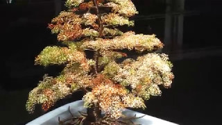 Yama Momiji - Japanese Autumn Mountain Maple