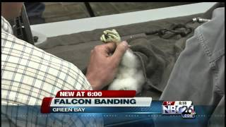 Peregrine Falcon Banding to Help Endangered Species