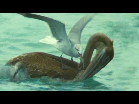 Pelican Hunt Sabotaged by Seagulls | Trials Of Life | BBC Earth
