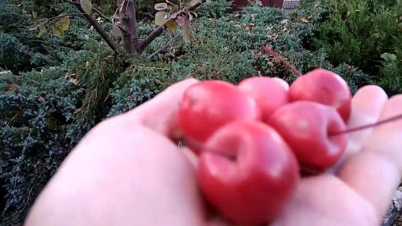 Ранетка-яблоня-мечта для ,,ленивых,,садоводов