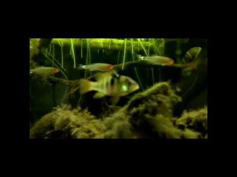 Mikrogeophagus ramirezi in acquario Amazzonico black water