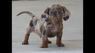 21 вид необыкновенных и красивых скрещенных собак