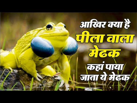 After all, what is a 'yellow frog', where...