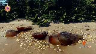 สารคดี แมงดาทะเล สัตว์ประหลาดหุ้มเกราะ