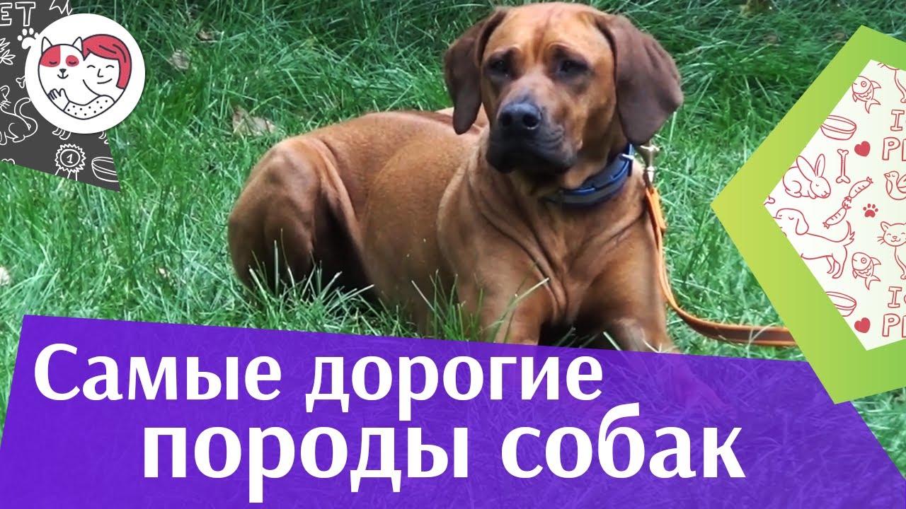 5 самых дорогих собак в мире на ilikpet