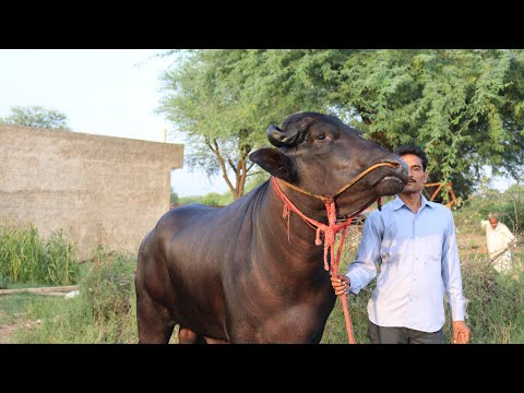Beautiful Murrah Bull in a village - SANSANIWAL DAIRY FARM