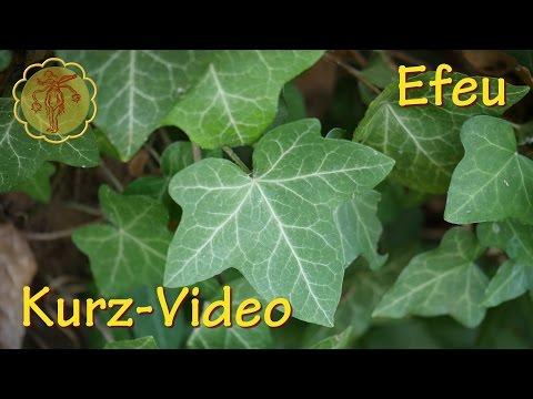 Heilpflanze: Efeu - Kurz-Video