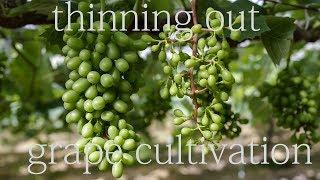 摘果と総量の見立て Grape Cultivation (thinning Out Superfluous Fruit)