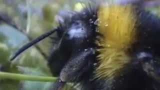 Clever Queen Bumble Bees - Sir David Attenboroughs Life In The Undergrowth - BBC Wildlife