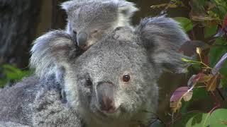 コアラ の赤ちゃん こまち Koala Holly