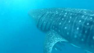 preview picture of video 'Whale sharks - Exmouth 2010'