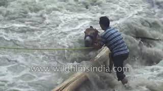 True hero: Man rescues Mule from flood-swollen Himalayan river