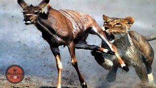 실제로 카메라에 포착된 동물들의 미친 싸움 14 [눈나 랭킹]